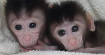 L'homme donne vie à 2 singes en Chine