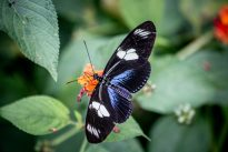 La génétique des papillons